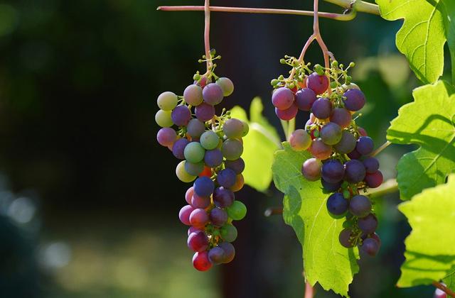 赤ブドウの品種
