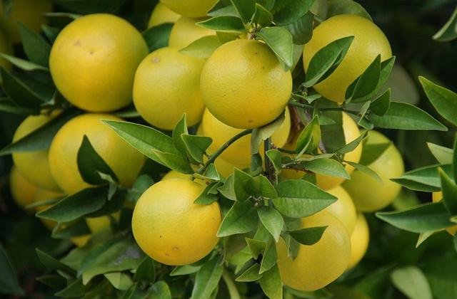 グレープフルーツの果実