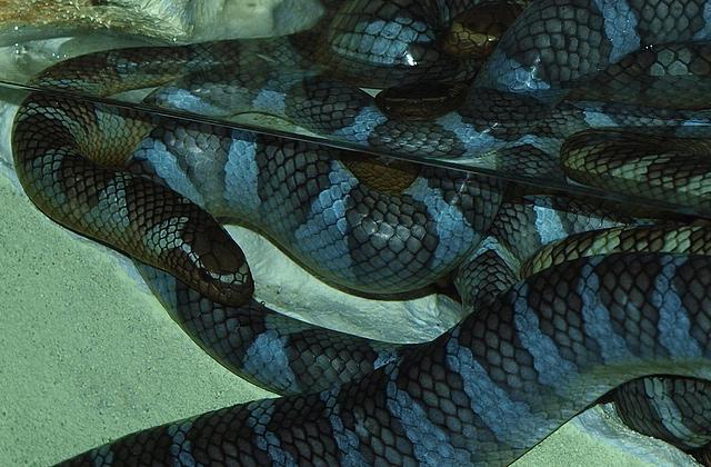 エラブウミヘビ